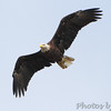 Bald Eagle <br /> Grand Tower levee <br /> Old Mississippi river channel oxbow