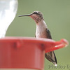 Ruby-throated Hummingbird <br /> Bridgeton, Mo <br /> 2017-08-03