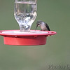 Ruby-throated Hummingbird <br /> Bridgeton, Mo <br /> 2017-08-02