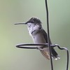 """Boss"" hummer resting spot on the hanging wire. <br> Ruby-throated Hummingbird <br> Out my front window <br> Bridgeton, Mo <br> 2017-08-14 <br>  <span class=""noShowSmart""> <a href=""/MyKeywords/Bird-Videos/n-gF9bt/i-nxtB8N8/A""> <span style=""color:yellow"">Click here to open video in lightbox/full screen</span></a> </span>  <span class=""noShowGallery""> <a href=""/Birds/2017-Birding/Birding-2017-August/2017-08-August-Yardbirds/i-nxtB8N8/A""> <span style=""color:yellow"">Click here to open video in lightbox/full screen</span></a> </span>"