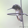 Ruby-throated Hummingbird <br /> Bridgeton, Mo <br /> 2017-08-14