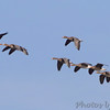 12-02-2017 <br /> Greater White-fronted Geese <br /> Riverlands Migratory Bird Sanctuary