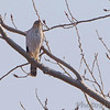 12-02-2017<br /> Cooper's Hawk <br /> Ellis Bay <br /> Riverlands Migratory Bird Sanctuary