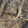 12-01-2017<br /> Cooper's Hawk <br /> Maple Island Road - Illinois<br /> Riverlands Migratory Bird Sanctuary