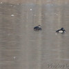12-02-2017 <br /> Black Scoter and Ring-necked ducks <br /> Ellis Bay <br /> Riverlands Migratory Bird Sanctuary
