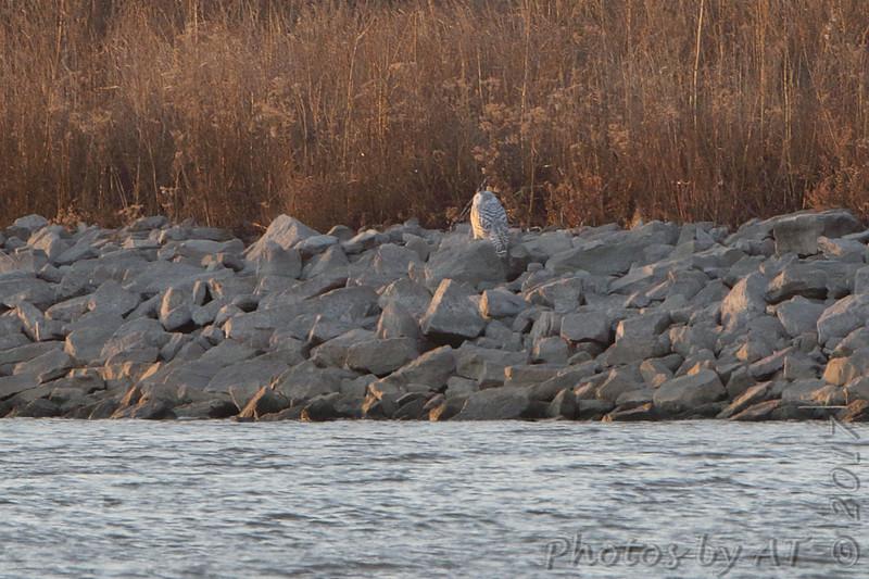 Snowy Owl <br /> Teal Pond <br /> Riverlands Migratory Bird Sanctuary