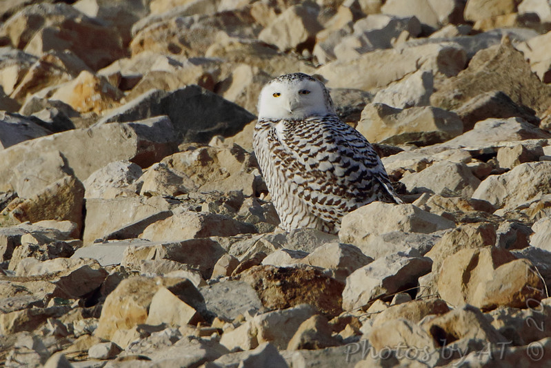 Snowy Owl <br /> Teal Pond <br /> Riverlands Migratory Bird Sanctuary