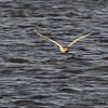 Snowy Owl <br /> A car pulled up to the rail, spooked the owl <br /> and It flew across Teal Pond <br /> Riverlands Migratory Bird Sanctuary