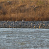 Snowy Owl <br /> Landed on far side, without duck?<br /> Teal Pond <br /> Riverlands Migratory Bird Sanctuary