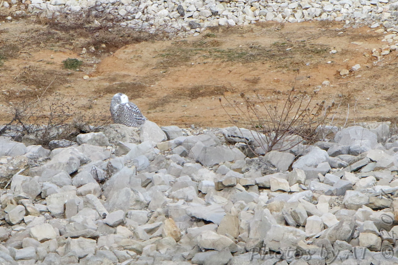 Snowy Owl <br /> 1st spotted owl across Teal Pond from parking lot <br /> where 4 cars were stopped looking at something.<br /> Found owl with scope wondering what they were looking at.<br /> Teal Pond <br /> Riverlands Migratory Bird Sanctuary