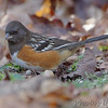 Spotted Towhee <br /> Rockwoods Reservation
