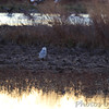 Snowy Owl <br /> It flew across the road out to the marsh <br /> and kicked up one Short-eared Owl <br /> Riverlands Migratory Bird Sanctuary
