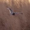 Short-eared Owl <br /> Riverlands Migratory Bird Sanctuary