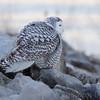 Snowy Owl <br /> Riverlands Migratory Bird Sanctuary