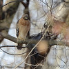 Red-shouldered Hawk <br /> Mingo National Wildlife Refuge