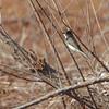 Eastern Phoebe <br /> Mingo National Wildlife Refuge