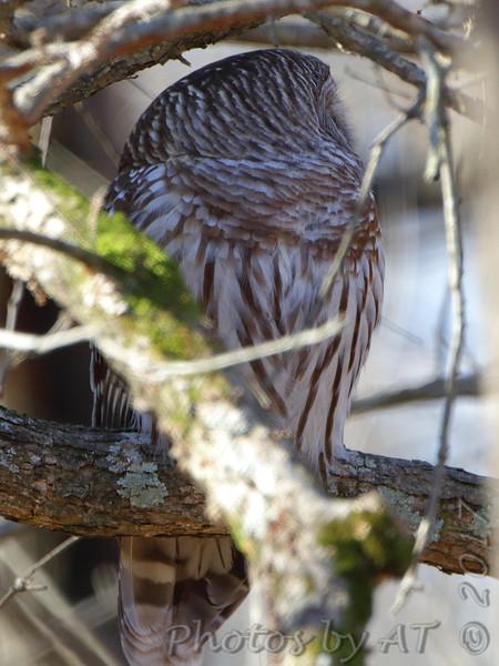 Barred Owl <br /> Mingo National Wildlife Refuge