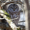 Barred Owl <br /> Mingo National Wildlife Refuge