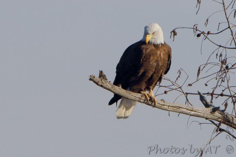 Bald Eagle <br /> Mingo National Wildlife Refuge
