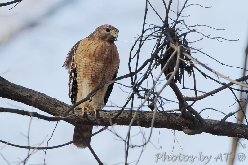 Red-shouldered Hawk <br /> Mingo National Wildlife Refuge