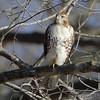 Red-tailed Hawk <br /> Mingo National Wildlife Refuge