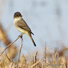 Eastern Phoebe <br /> Mingo National Wildlife Refuge