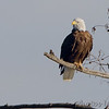 Bald Eagle <br /> Mingo National Wildlife Refuge