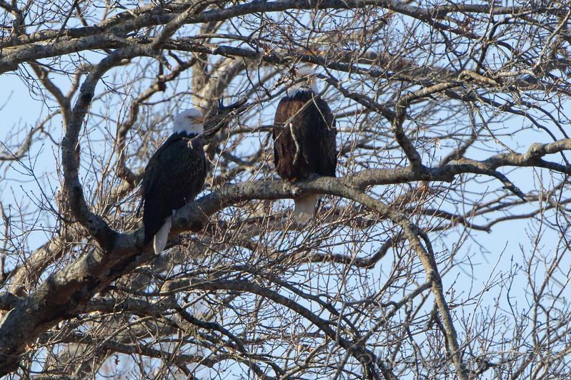 Bald Eagles<br /> Mingo National Wildlife Refuge