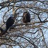 Bald Eagles<br /> Mingo National Wildlife Refuge