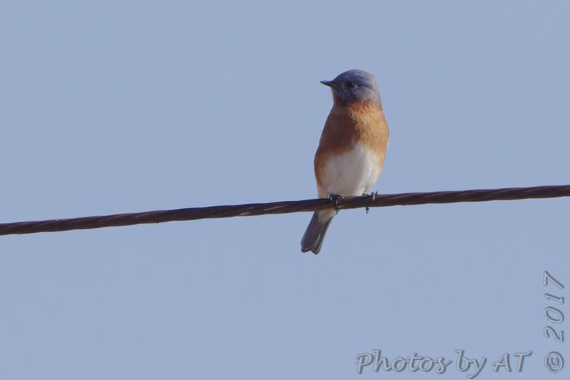 Eastern Bluebird <br /> Mingo National Wildlife Refuge