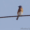 Eastern Bluebird <br /> Mingo National Wildlife Refuge