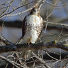 Red-tailed Hawk <br /> Mingo National Wildlife Refuge