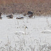 Tundra Swans • Mallards<br /> Greater White-fronted Geese <br /> Riverlands Migratory Bird Sanctuary