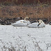 Trumpeter Swans • Tundra Swan • Mallards <br /> Mallards • Greater White-fronted Geese <br /> Northern Pintail <br /> Riverlands Migratory Bird Sanctuary