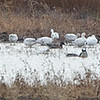 Tundra Swan • Greater White-fronted Geese <br /> Snow Geese • Mallards <br /> Riverlands Migratory Bird Sanctuary