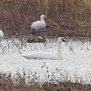 Tundra  Swan • Snow Geese <br /> Riverlands Migratory Bird Sanctuary