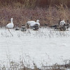 Tundra Swan • Snow Geese • Mallards <br /> Riverlands Migratory Bird Sanctuary