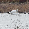 Trumpeter Swan • Greater White-fronted Geese <br /> Snow Geese • Mallards <br /> Riverlands Migratory Bird Sanctuary