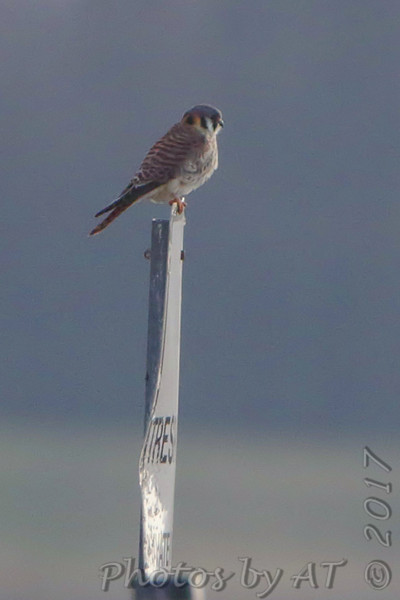 American Kestrel <br /> Confluence Road <br /> Riverlands Migratory Bird Sanctuary