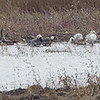 Tundra Swan • Greater White-fronted Geese <br /> Snow Geese • Green-winged Teal <br /> Riverlands Migratory Bird Sanctuary