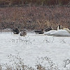 Trumpeter Swans • Northern Pintail<br /> Tundra Swan • Greater White-fronted Geese <br /> Riverlands Migratory Bird Sanctuary