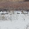 Tundra Swans • Snow Goose • Mallards <br /> Riverlands Migratory Bird Sanctuary
