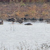 Trumpeter Swan • Mallards<br /> Greater White-fronted Geese <br /> Riverlands Migratory Bird Sanctuary