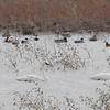 Tundra Swans <br /> Riverlands Migratory Bird Sanctuary