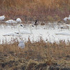 Snowy Owl • Snow Geese <br /> Tundra and Trumpeter Swan <br /> Riverlands Migratory Bird Sanctuary
