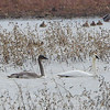 Trumpeter Swans <br /> Riverlands Migratory Bird Sanctuary
