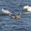 Greater White-fronted Geese and Trumpeter Swans <br /> Riverlands Migratory Bird Sanctuary