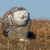 Snowy Owl <br /> Between 367 and Ellis Island Road <br /> Riverlands Migratory Bird Sanctuary