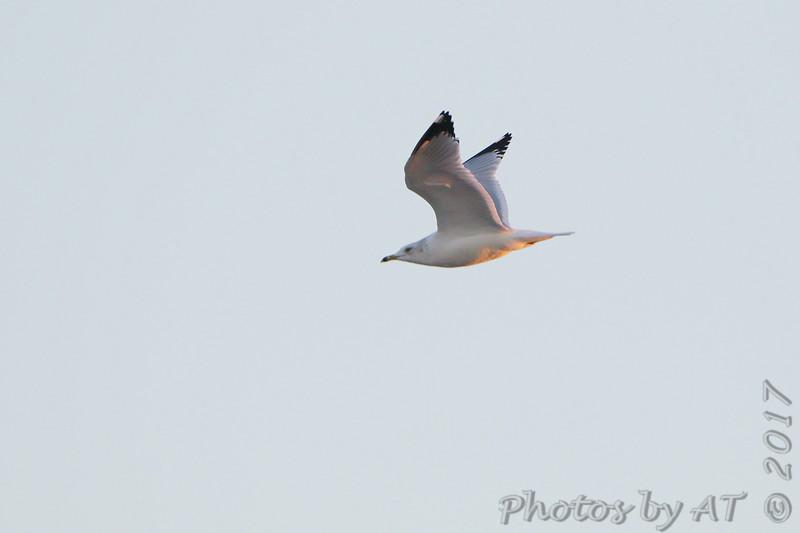 Ring-billed Gull <br /> Riverlands Migratory Bird Sanctuary
