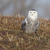 Snowy Owl <br /> Between 367 and Ellis Island Road <br /> Riverlands Migratory Bird Sanctuary
